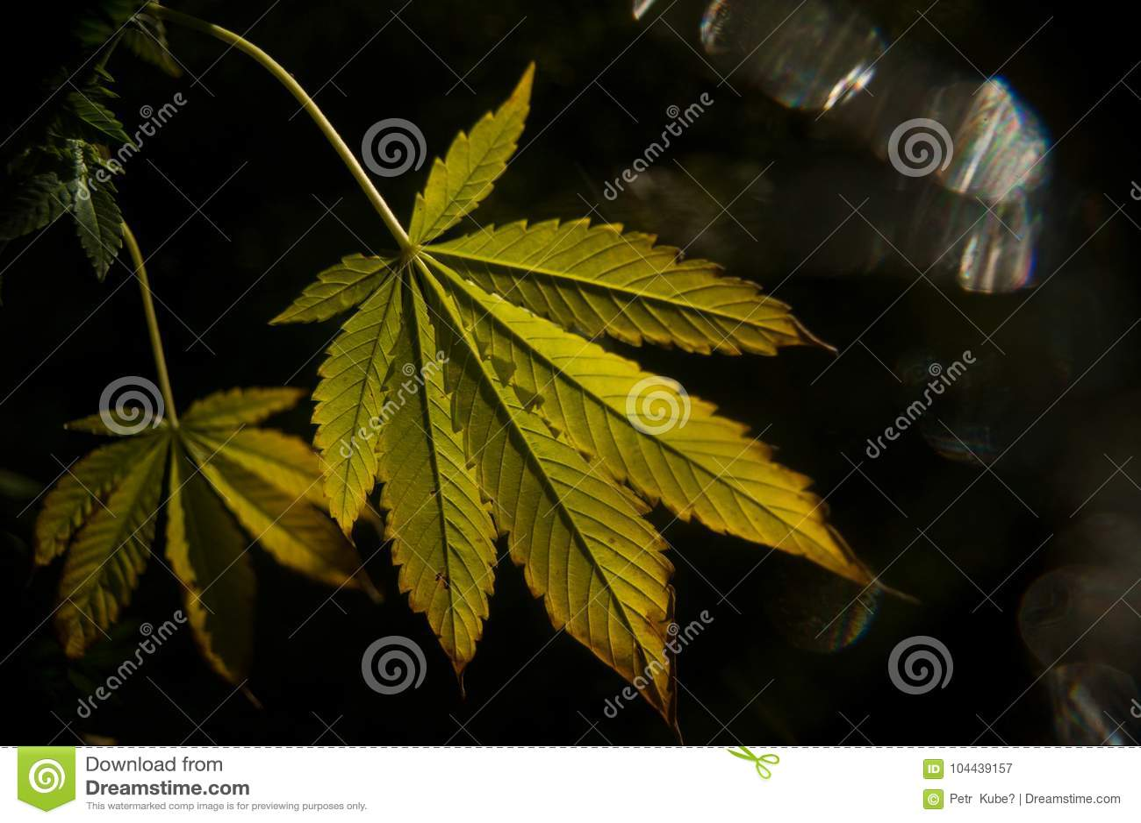Folhas da marijuana na obscuridade