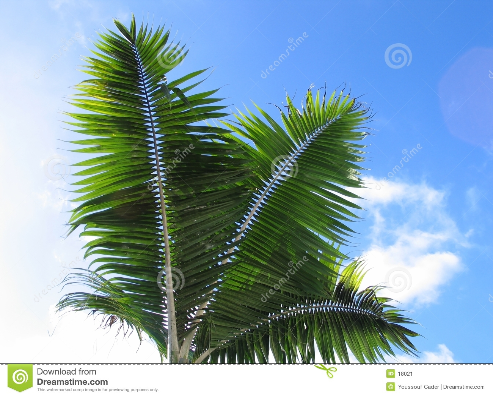 Folhas da palmeira