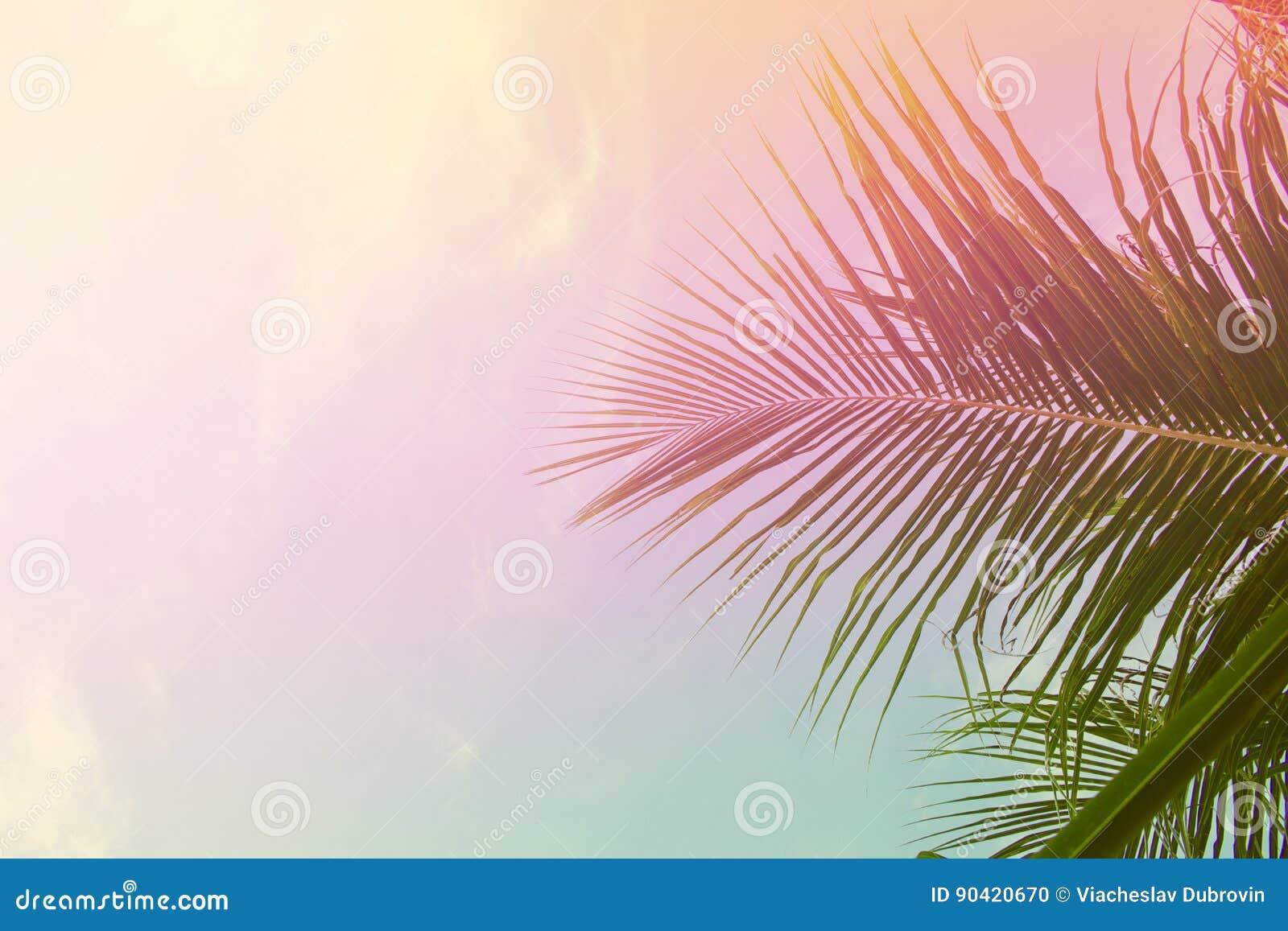 Folhas da palmeira no fundo do céu Folha de palmeira sobre o céu O rosa e o amarelo tonificaram a foto