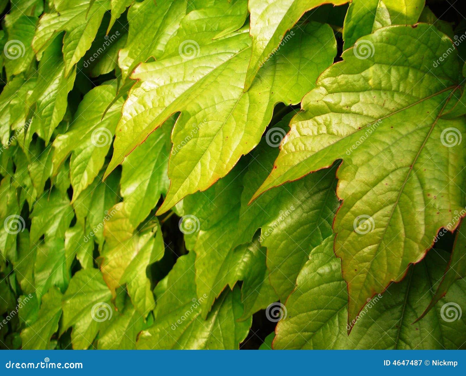 Folhas da videira
