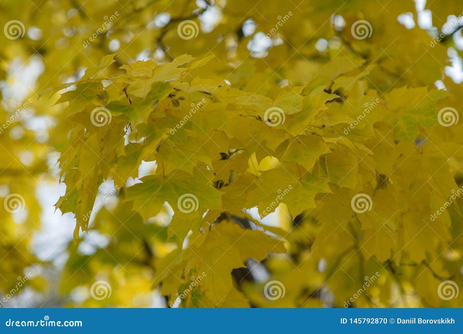 Folhas de bordo amarelas do outono