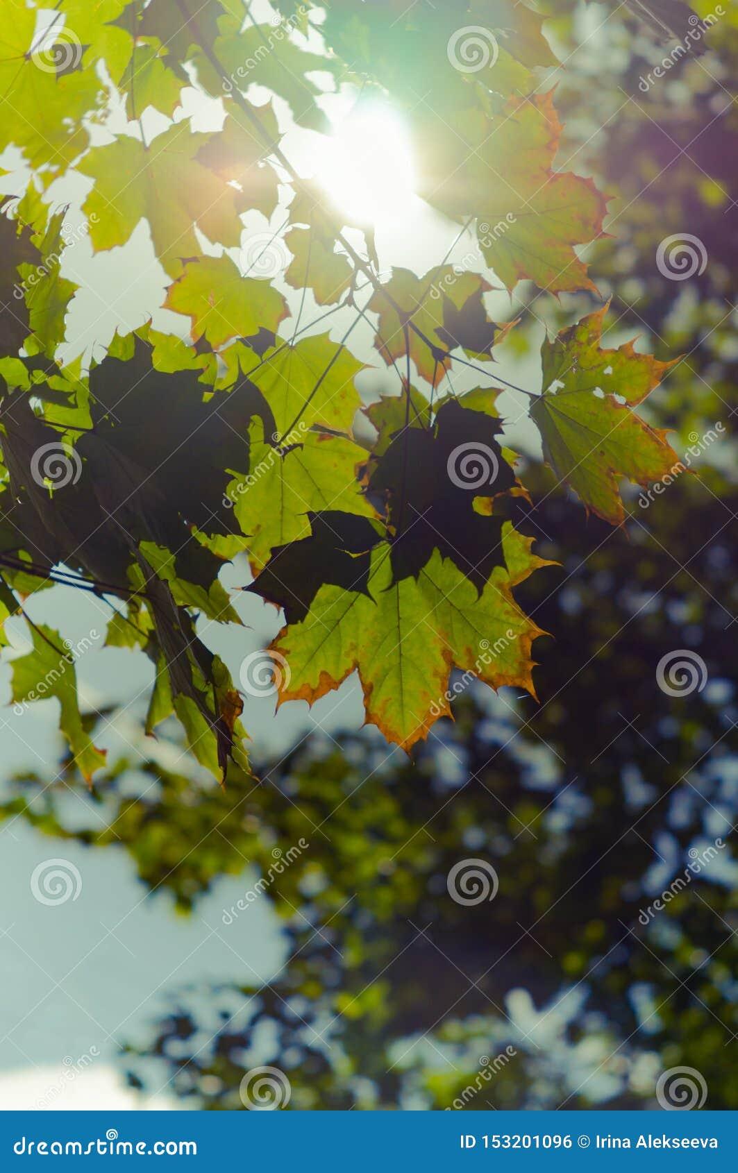 Folhas de bordo que começam a girar amarelo nos raios do sol o in?cio do outono Foco macio, foco selecionado Foto vertical