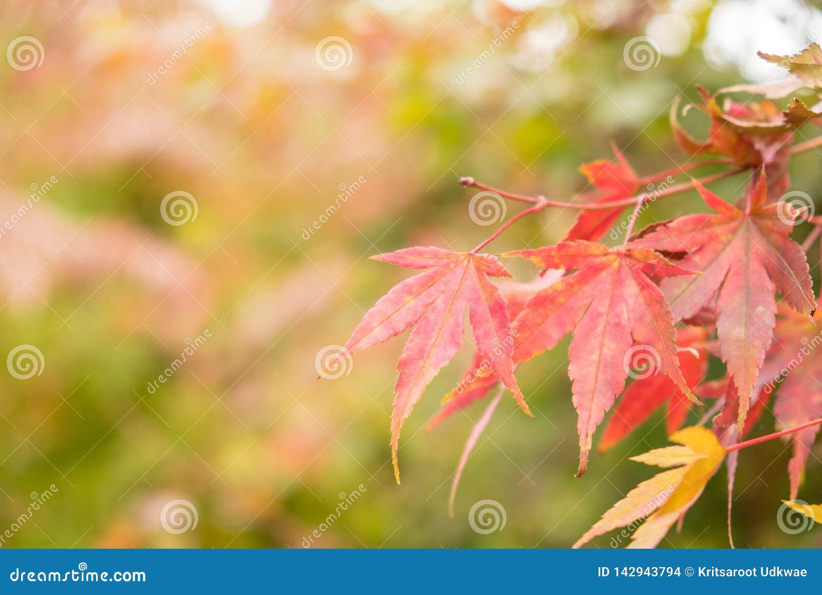 Folhas de bordo vermelhas com fundo do borrão na estação do outono