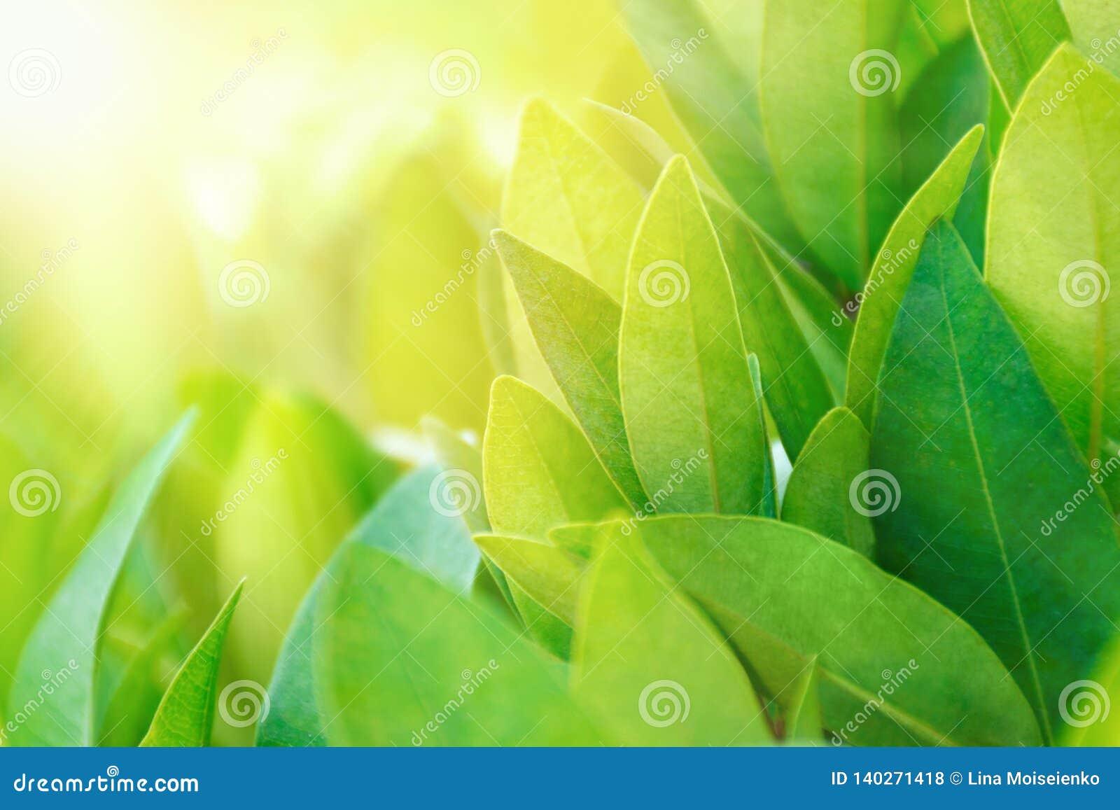 Folhas de chá na plantação em feixes da luz solar Arbusto fresco do chá verde