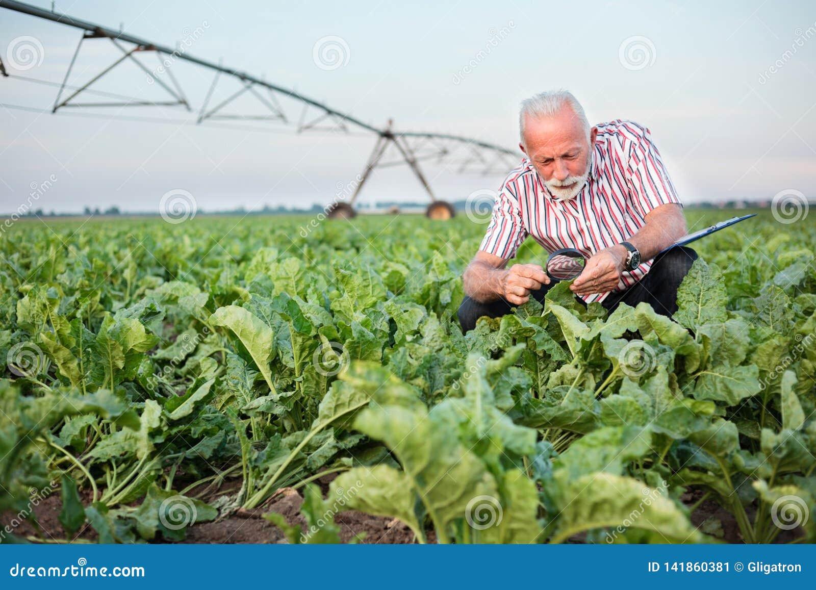 Folhas de exame agrônomo ou da beterraba ou do feijão de soja superior de sorriso do fazendeiro com lupa