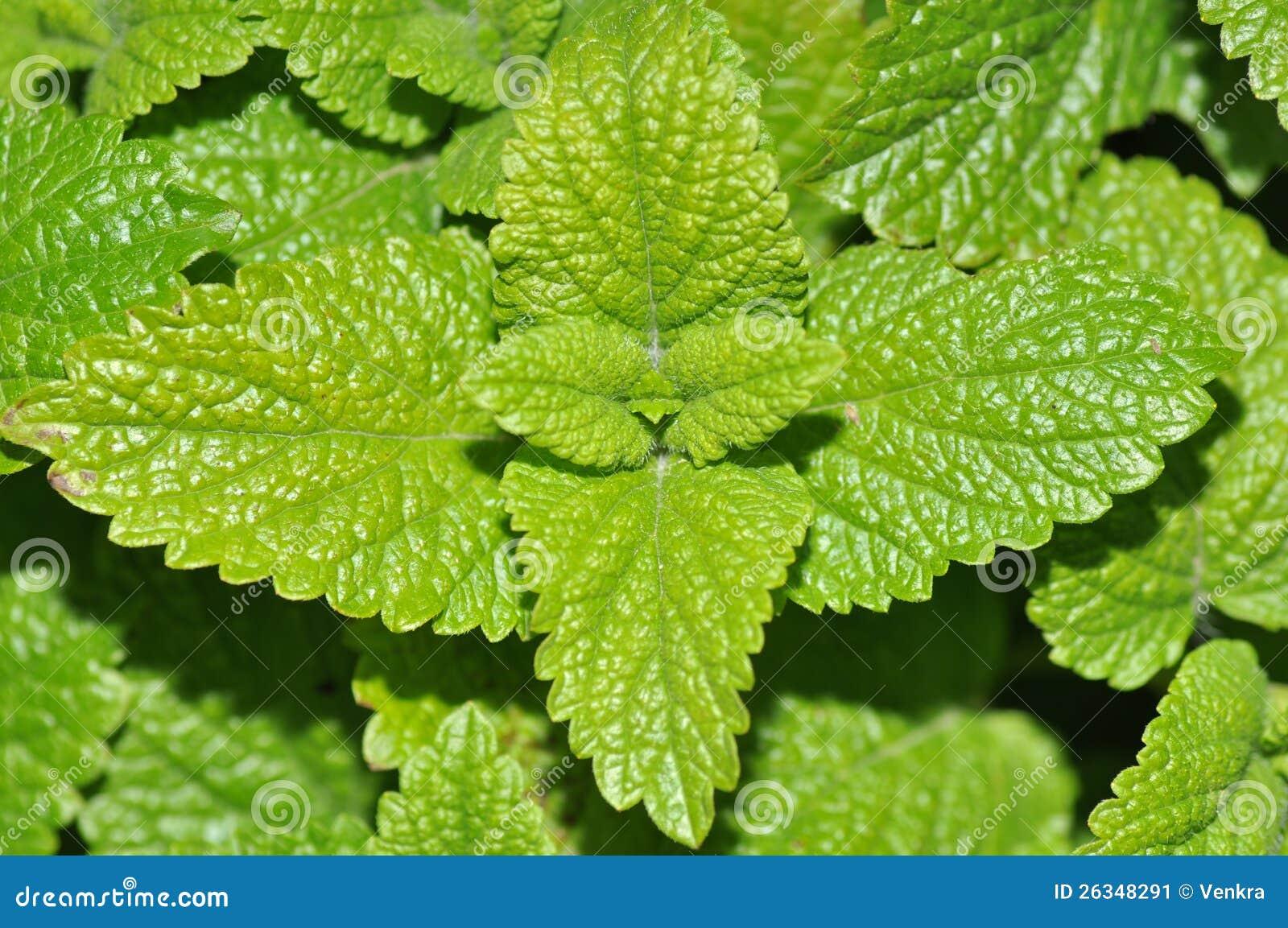 Folhas de hortelã