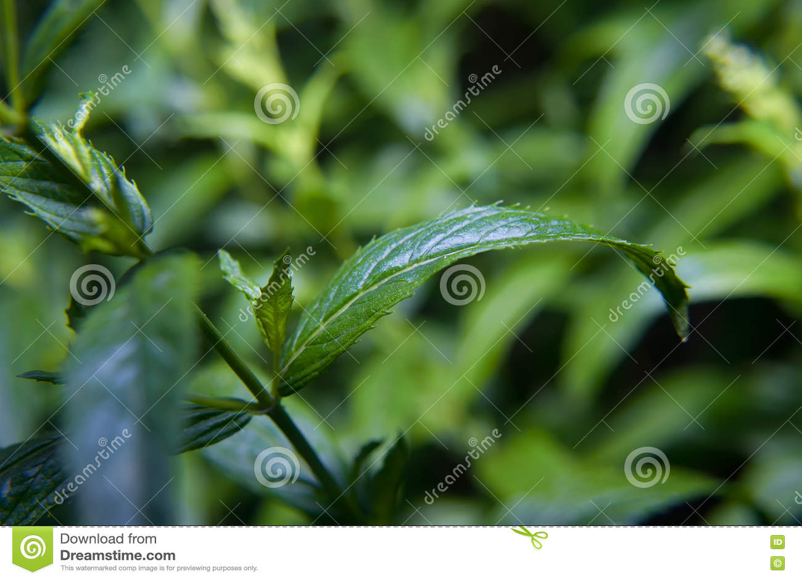 Folhas de hortelã da pimenta