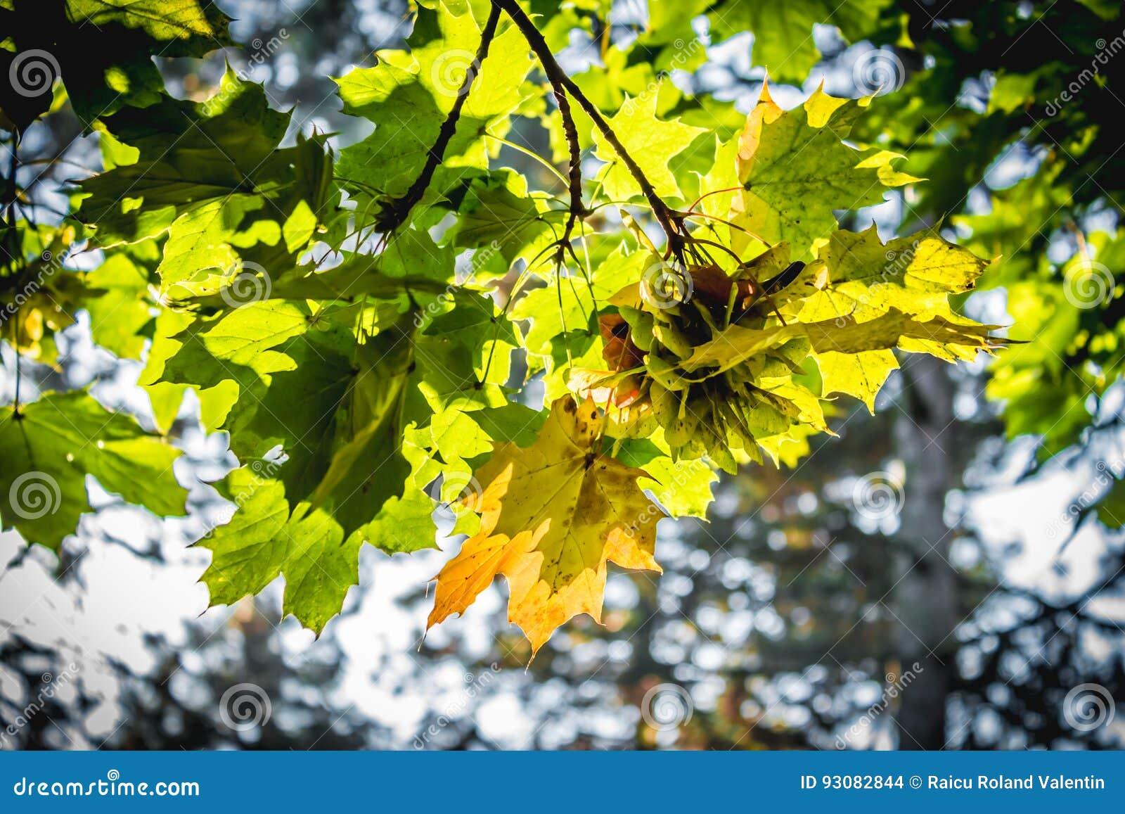 Folhas de Mapple em cores outonais