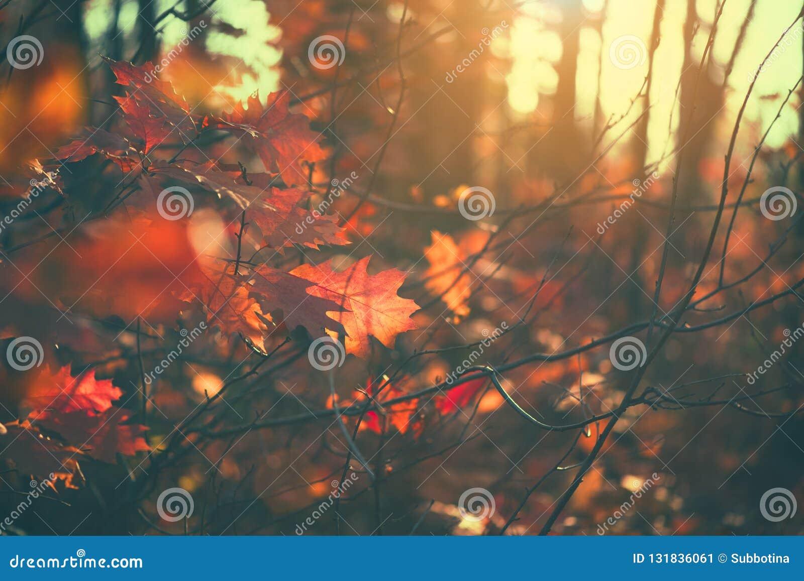 Folhas de outono fundo, contexto Paisagem, folhas que balançam em uma árvore no parque outonal Queda Carvalhos com folhas colorid