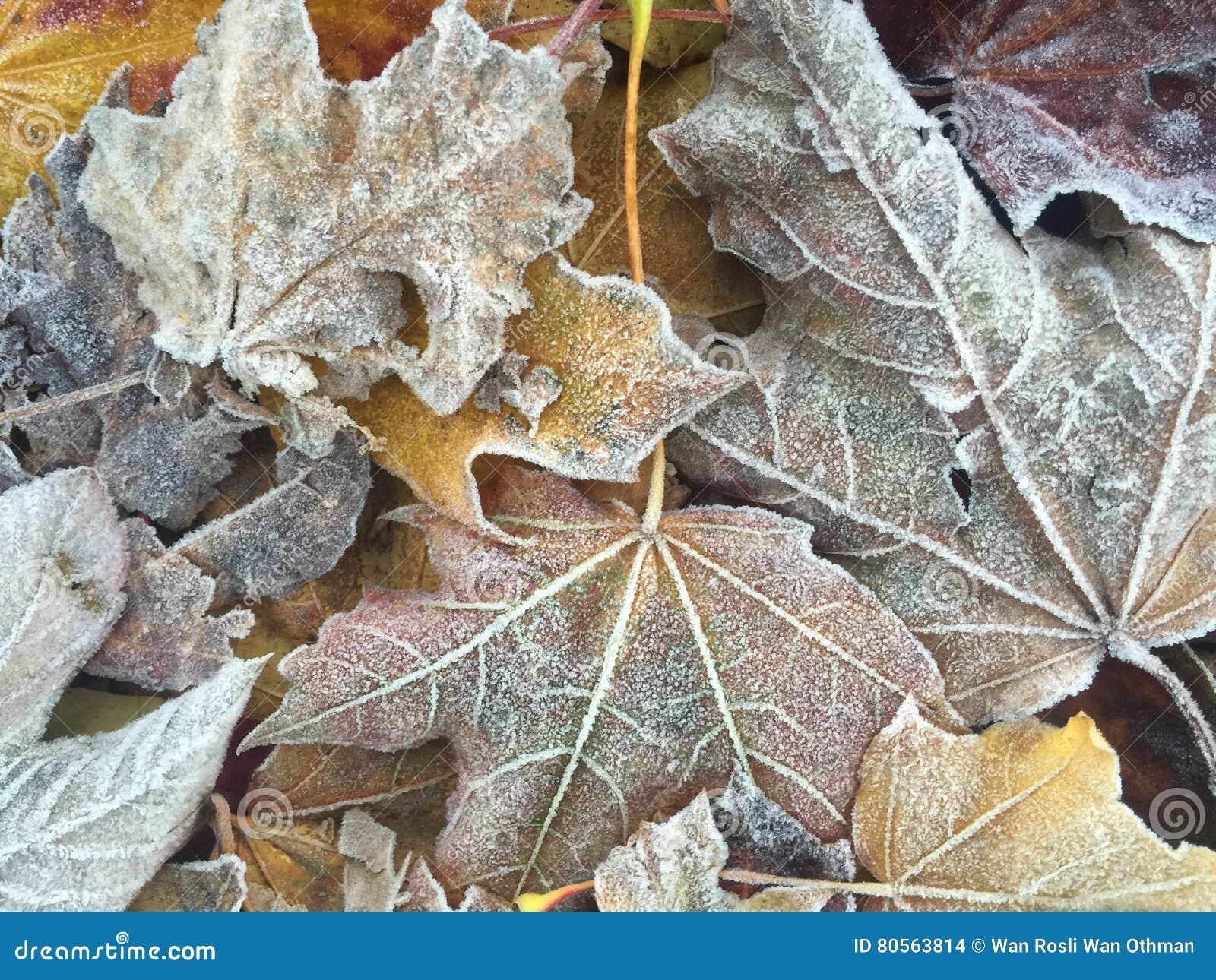 Folhas de outono gelados