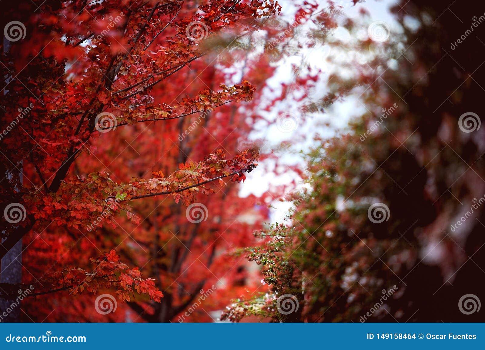 Folhas de outono vermelhas, bordo japonês com fundo borrado