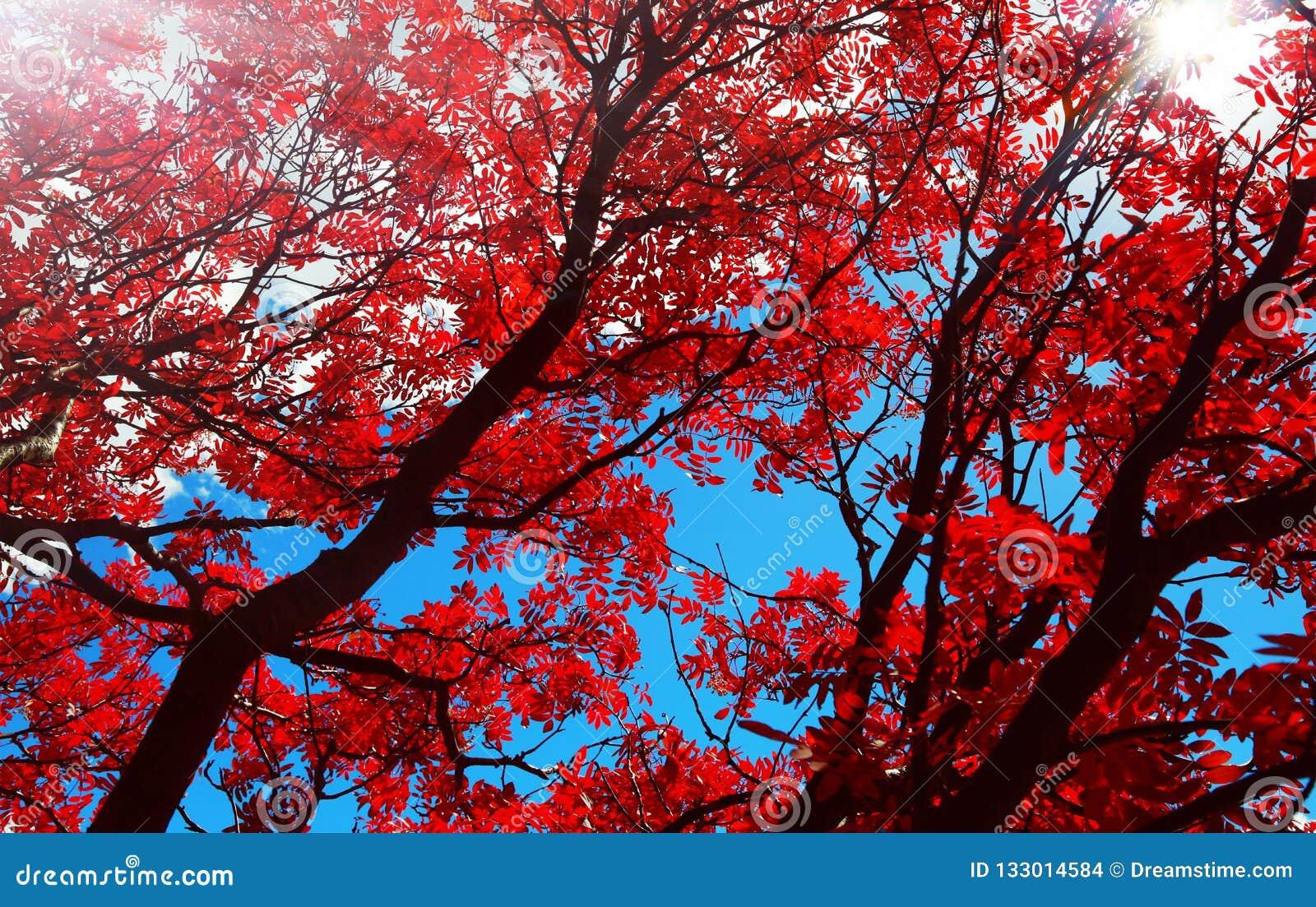 Folhas de outono vermelhas do salgueiro da flor sob o sol