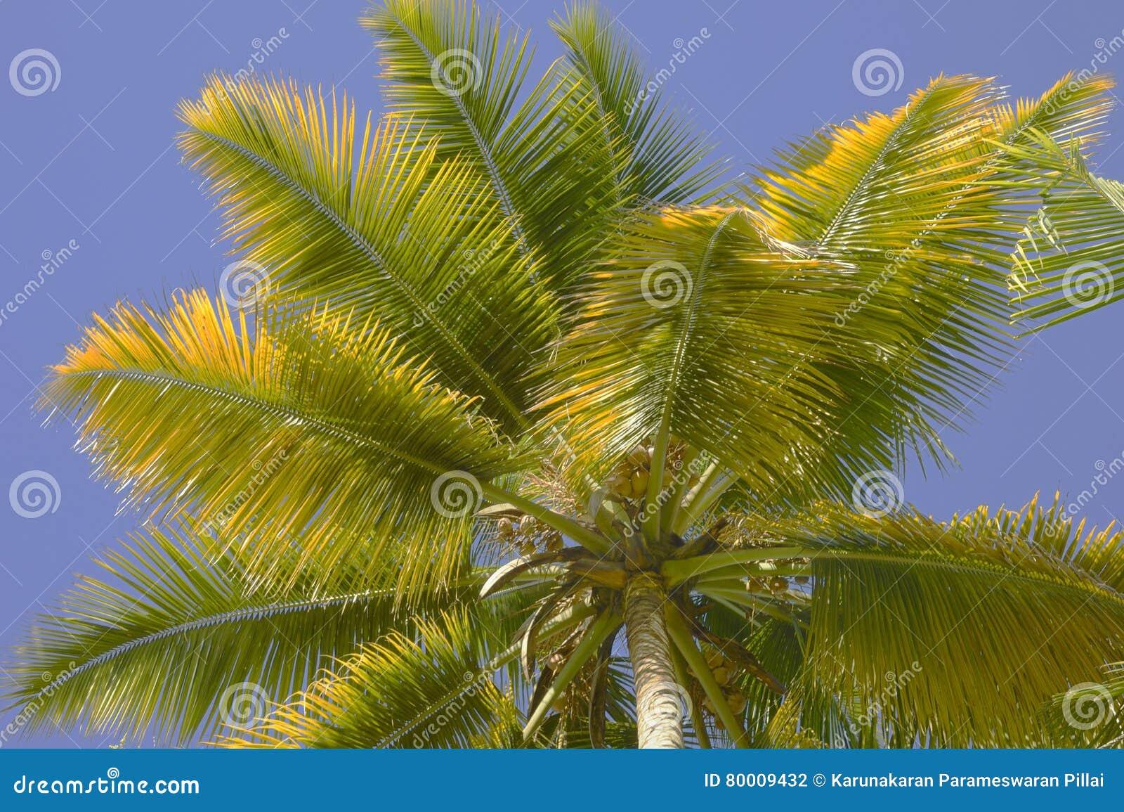 Folhas de palmeira amareladas do coco