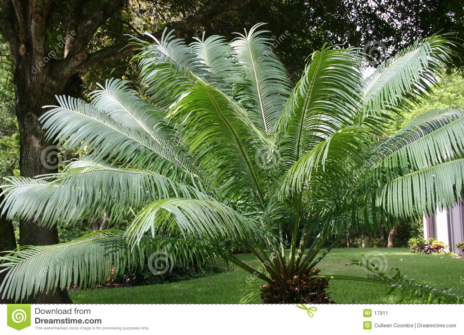 Folhas de palmeira de balanço