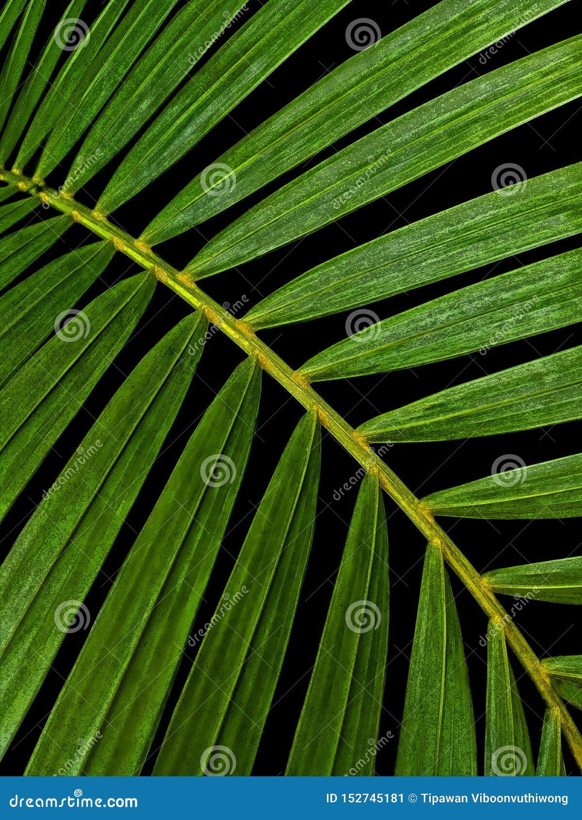 Folhas de palmeira verdes