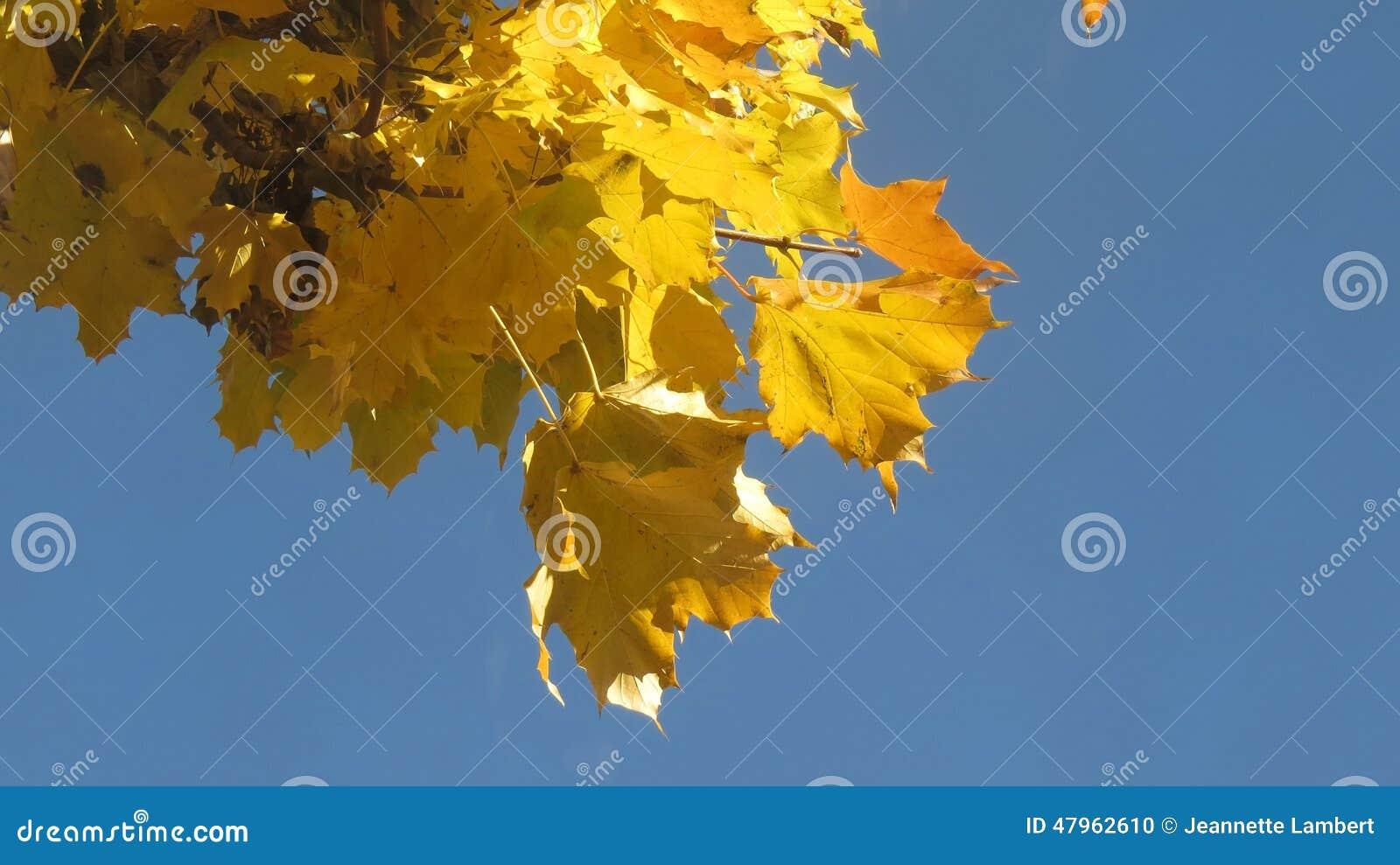 Folhas de plátano amarelas no outono