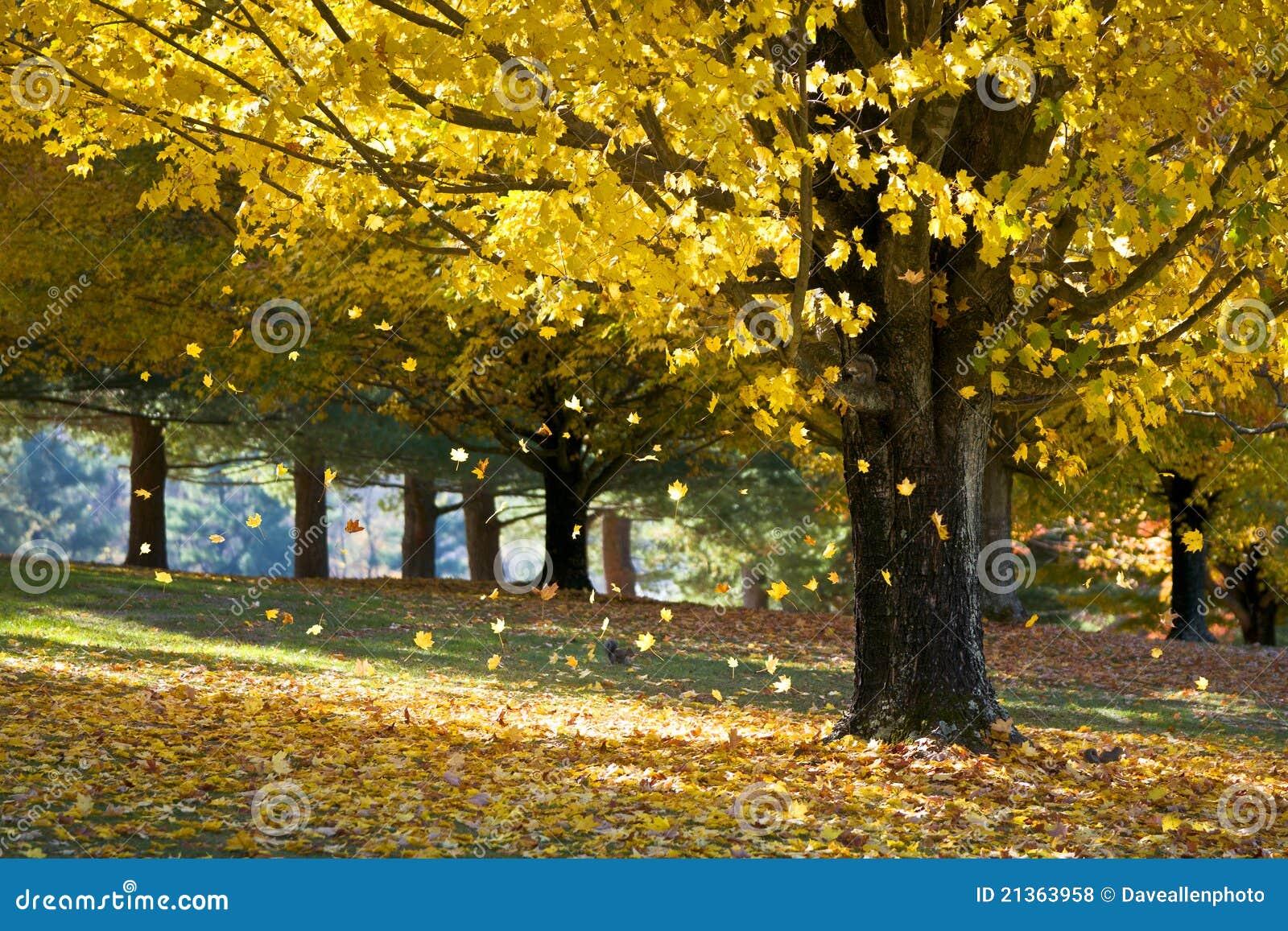 Folhas de plátano do amarelo da folha de queda da árvore do outono