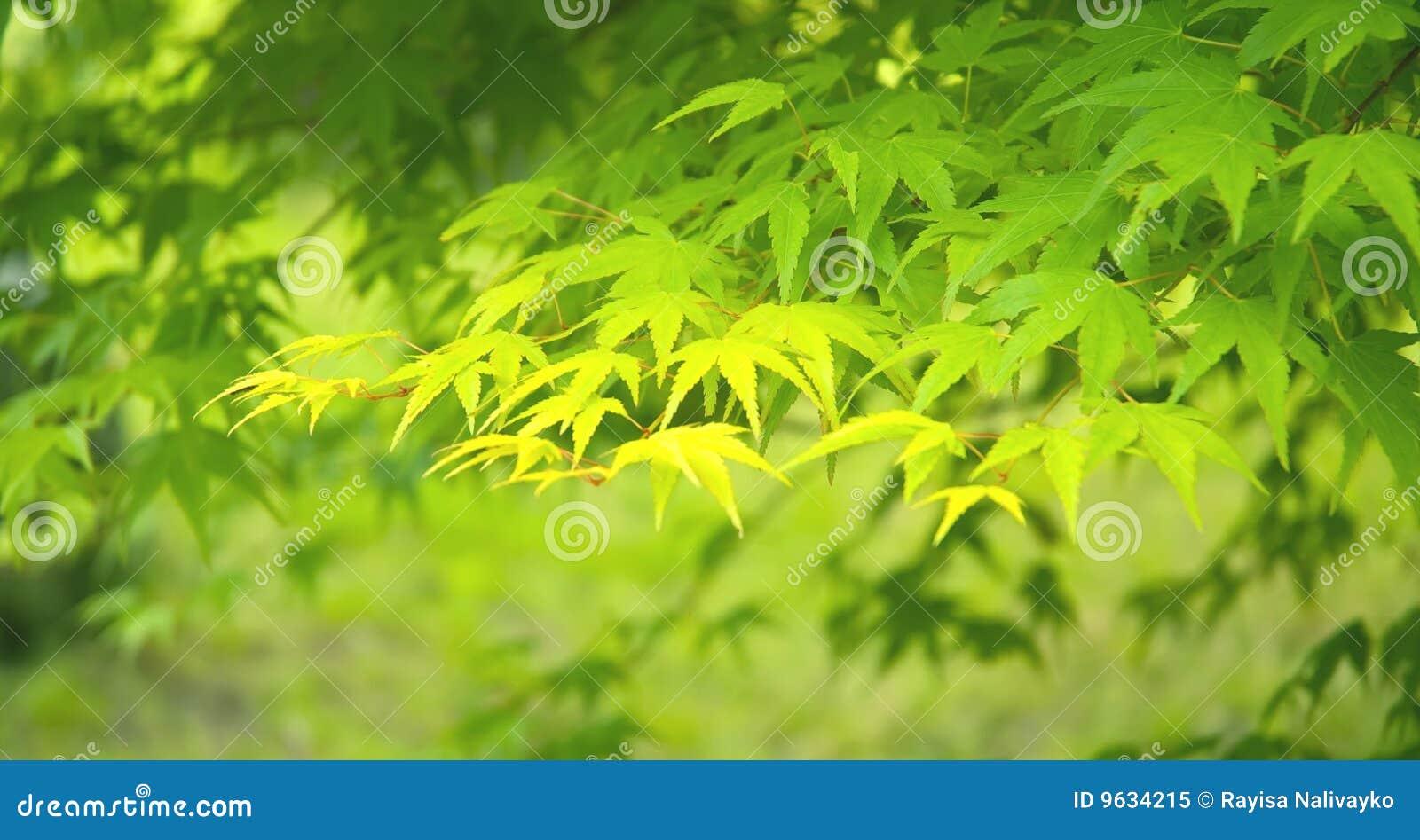 Folhas de plátano verdes