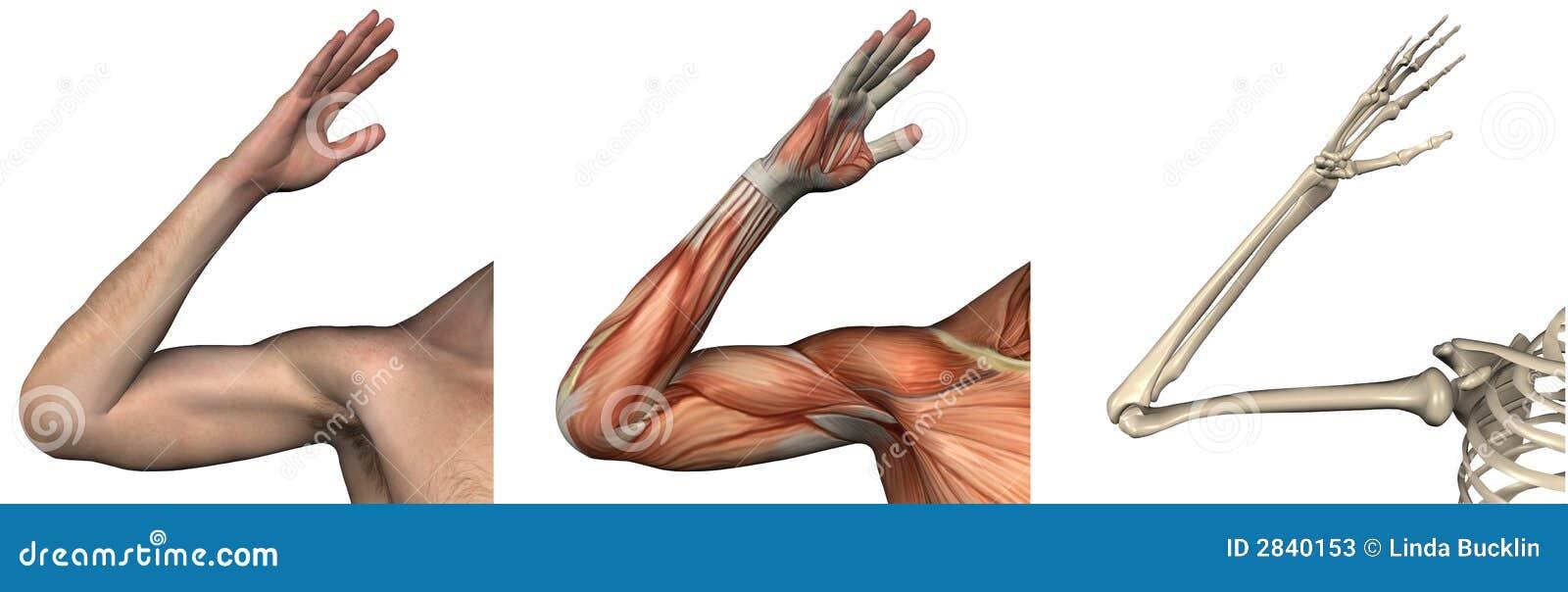 Folhas de prova anatômicas - braço direito