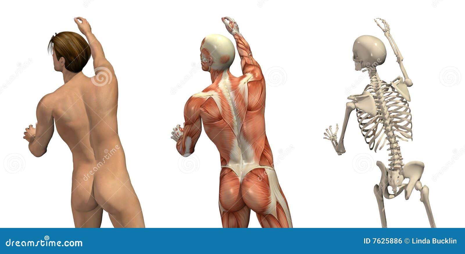 Folhas de prova anatômicas - girando e alcangando