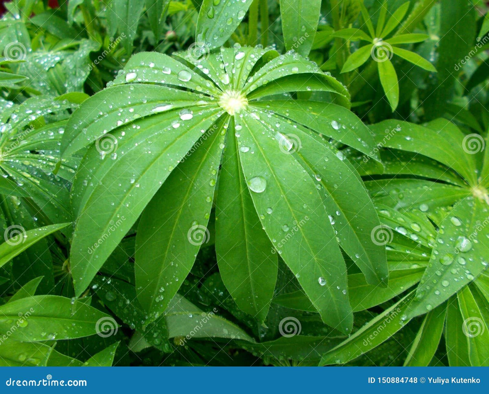 Folhas de uma planta bonita com gotas da chuva do campo