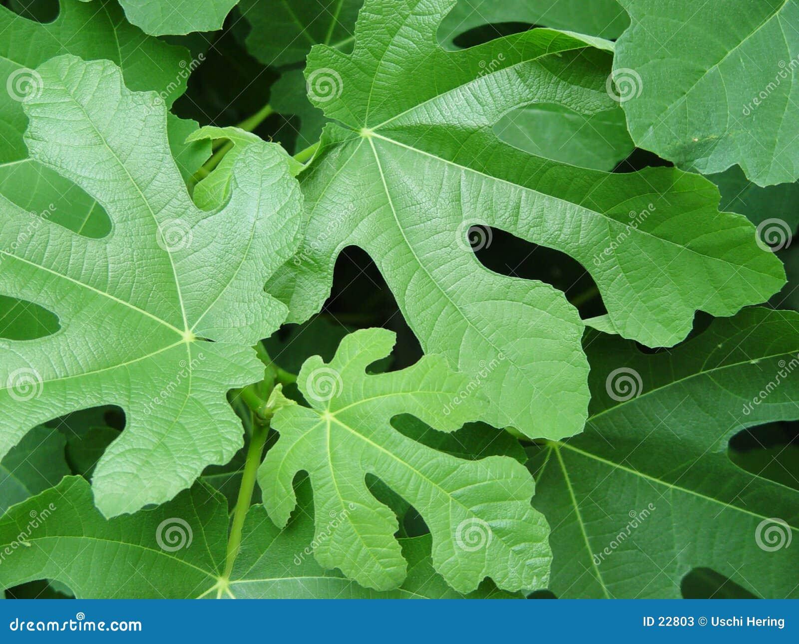 Folhas do figo