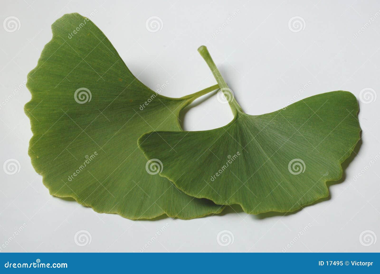 Folhas do Ginkgo
