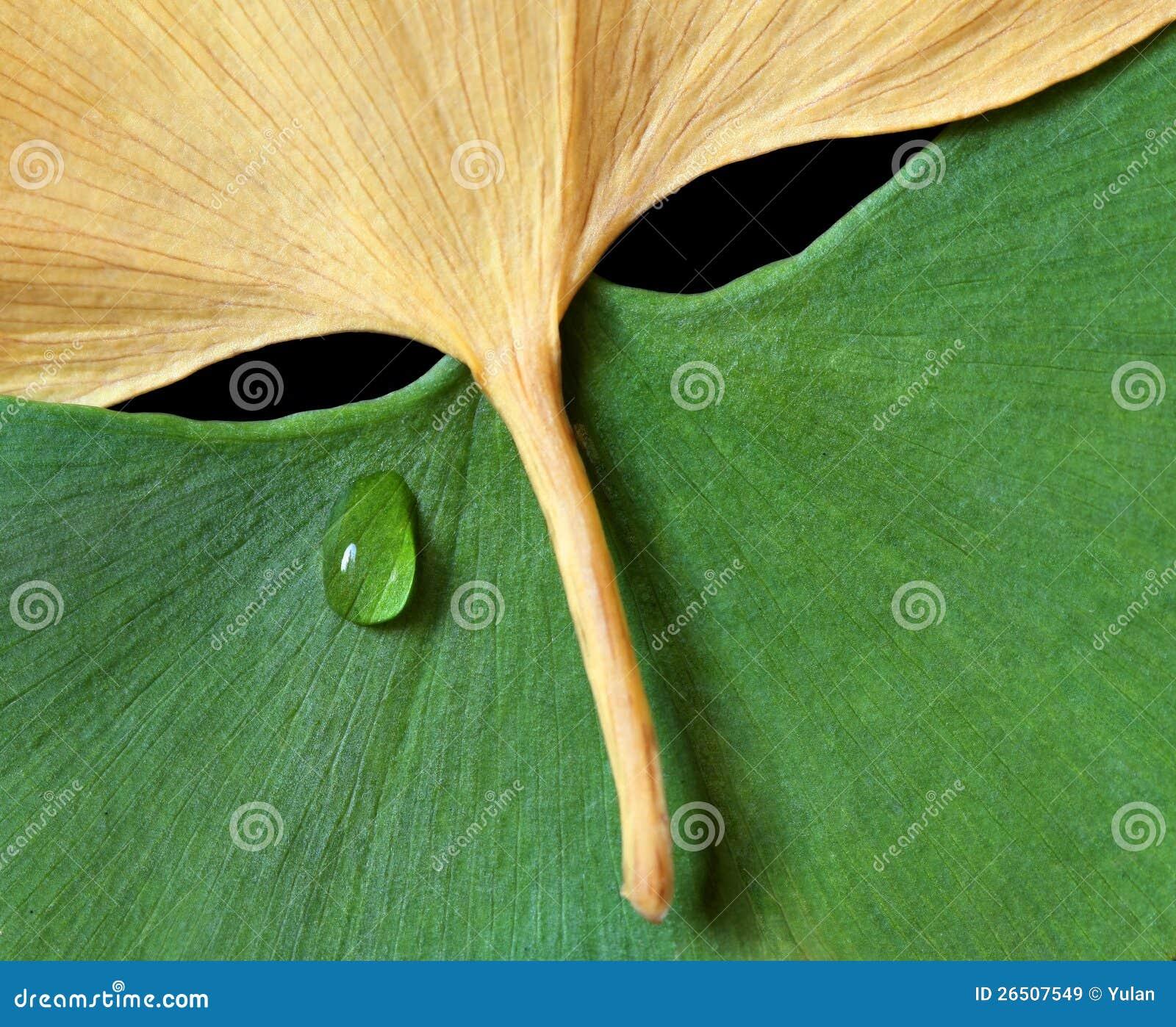 Folhas do Ginkgo no formulário da máscara