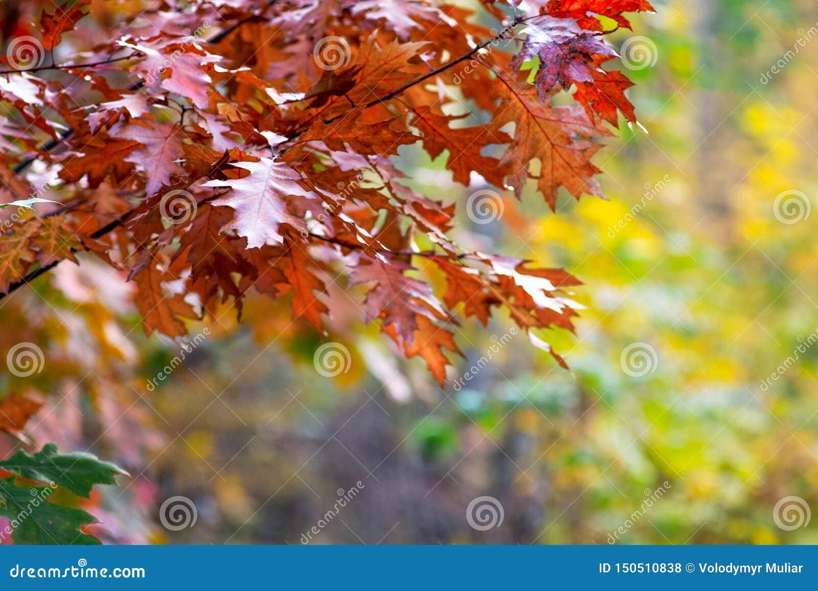 Folhas do marrom do outono do carvalho vermelho em um fundo obscuro no woods_
