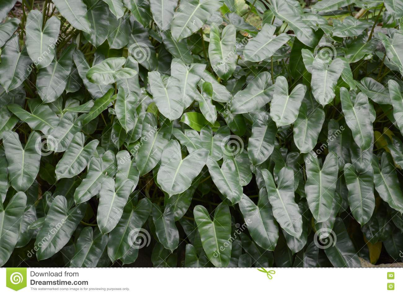 Folhas do Philodendron
