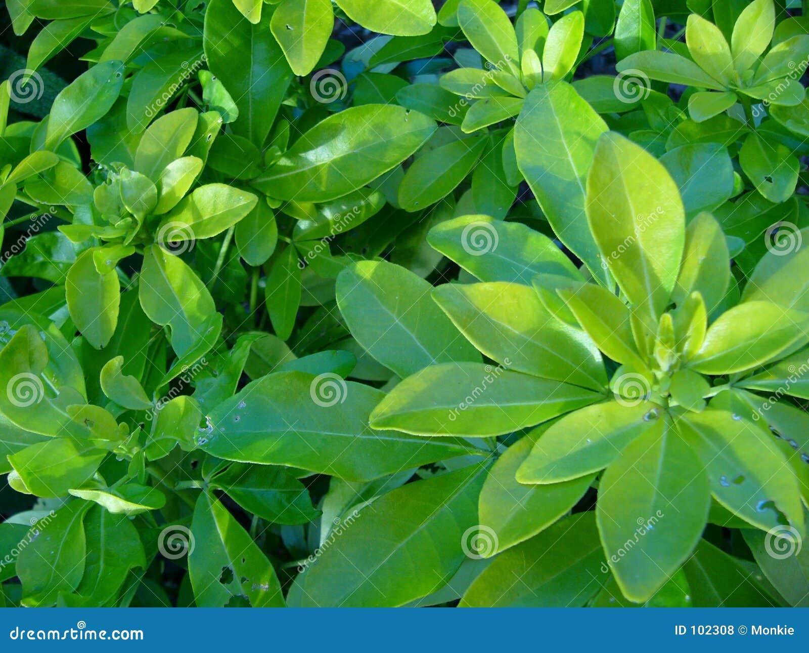 Folhas do verde