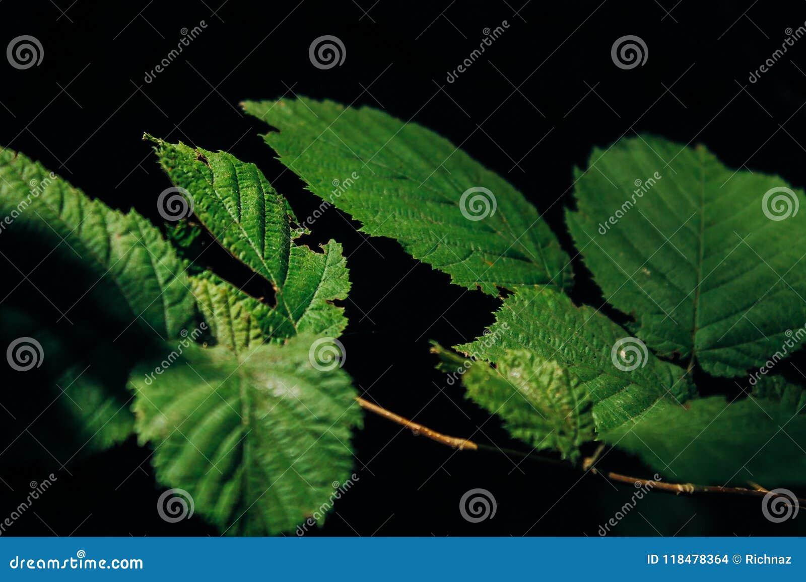 Folhas do verde em um fundo escuro
