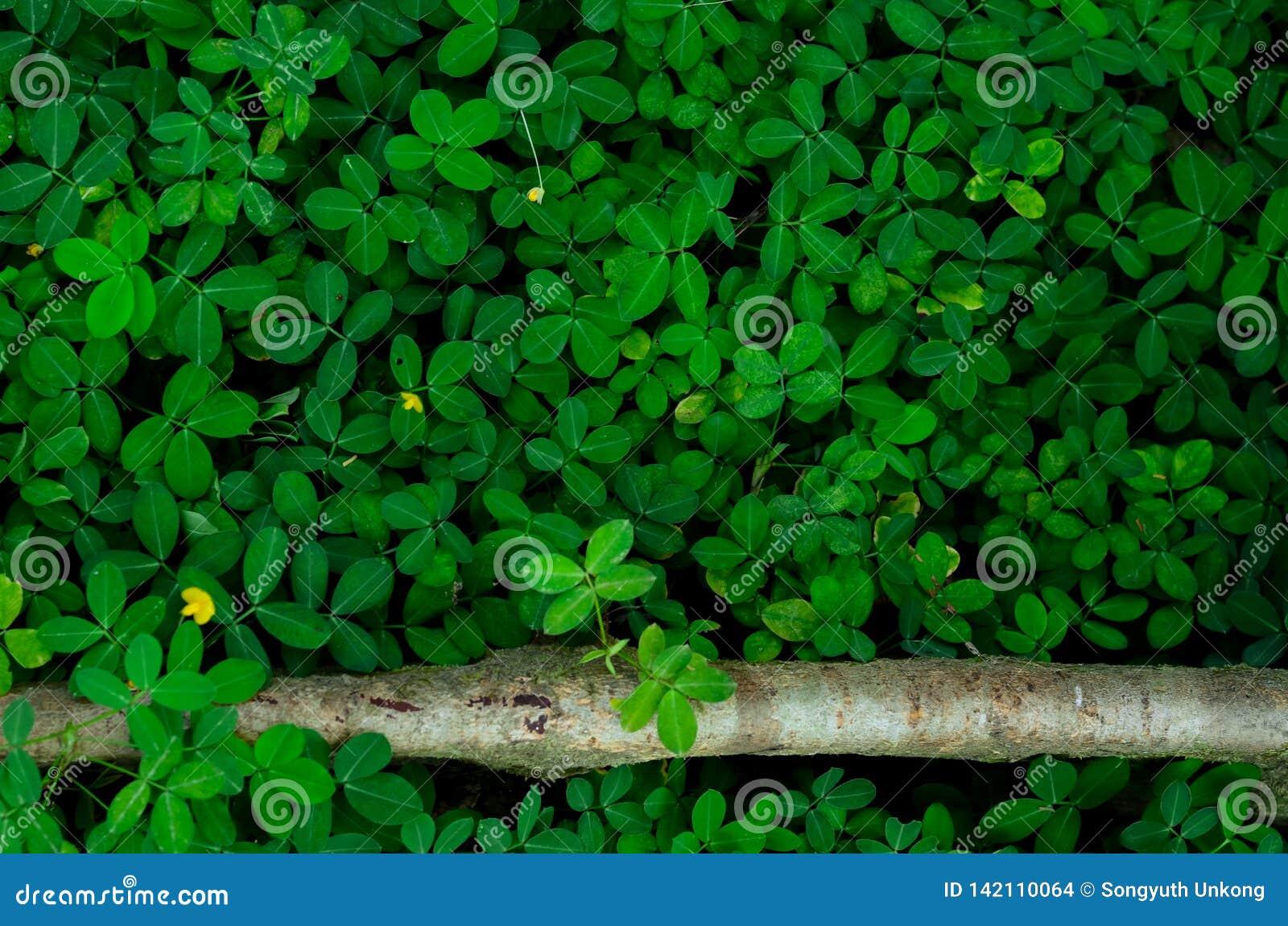 Folhas do verde do fundo e da textura e algumas flores amarelas de Pinto Peanut