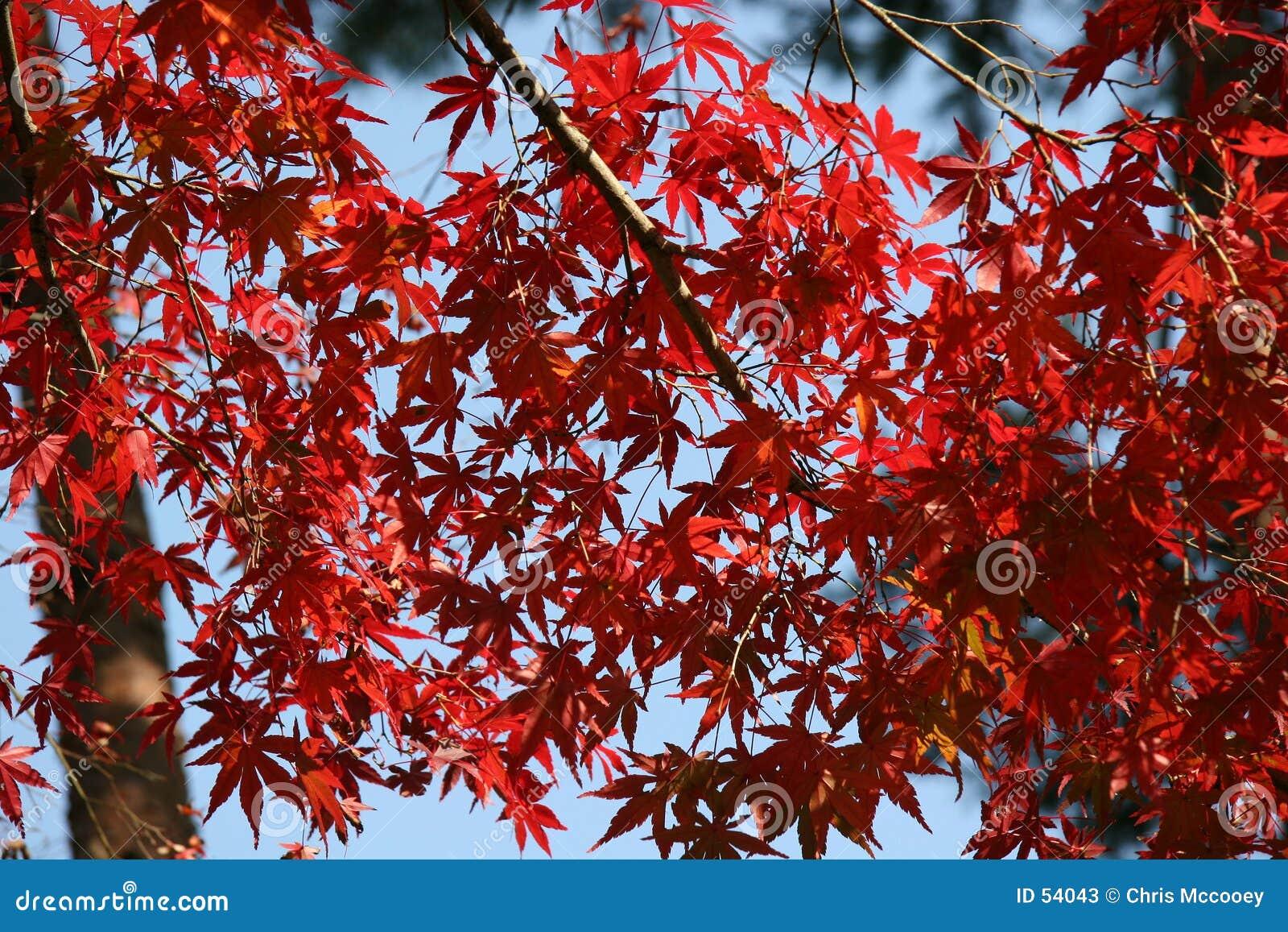 Folhas do vermelho.