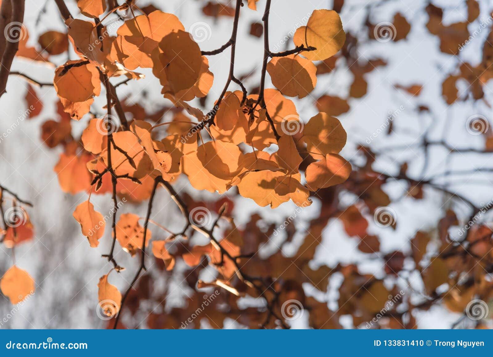 Folhas douradas da pera de Bradford da folhagem de outono colorida com b retroiluminado