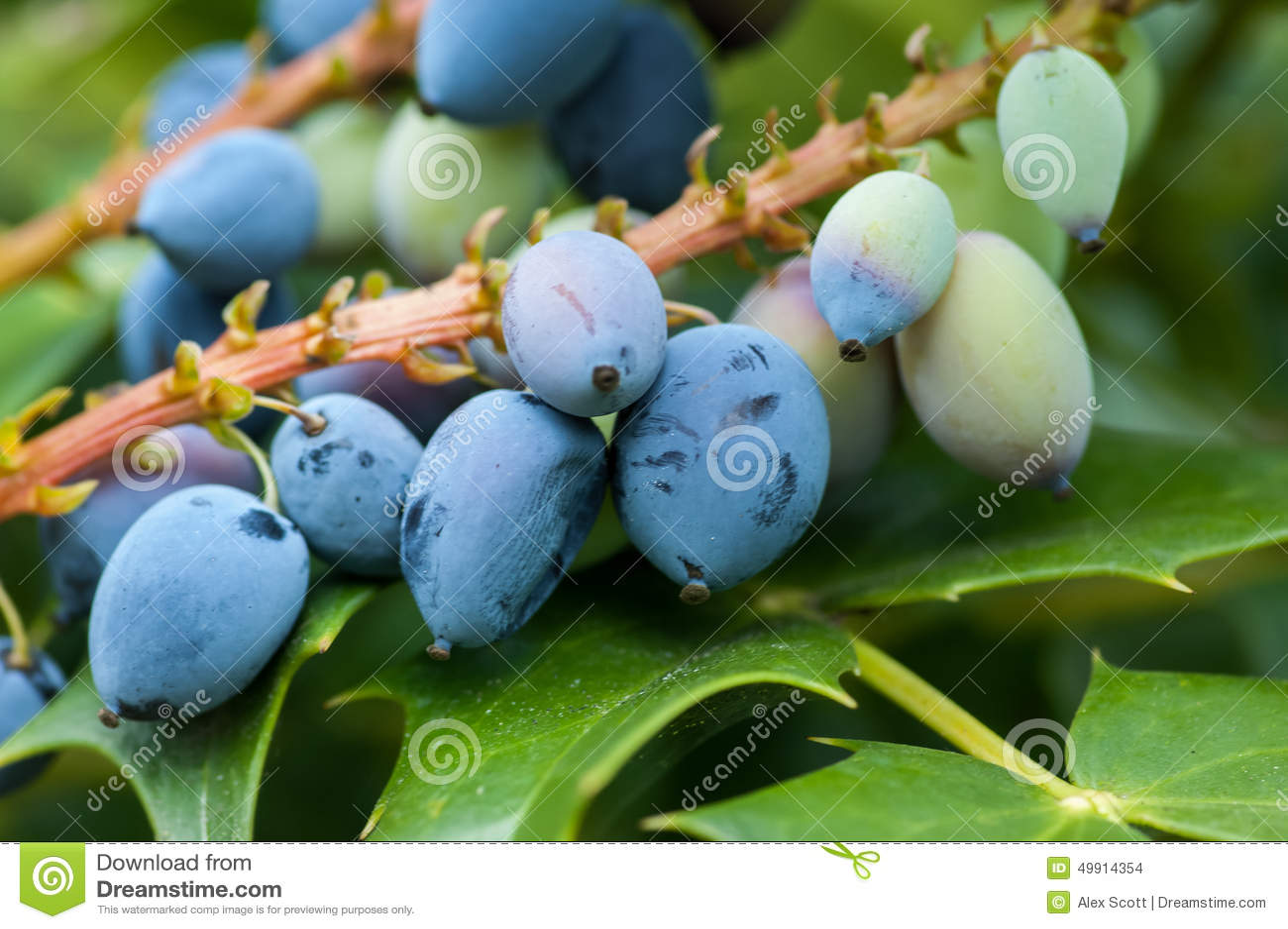 Folhas e fruto da uva de Oregon