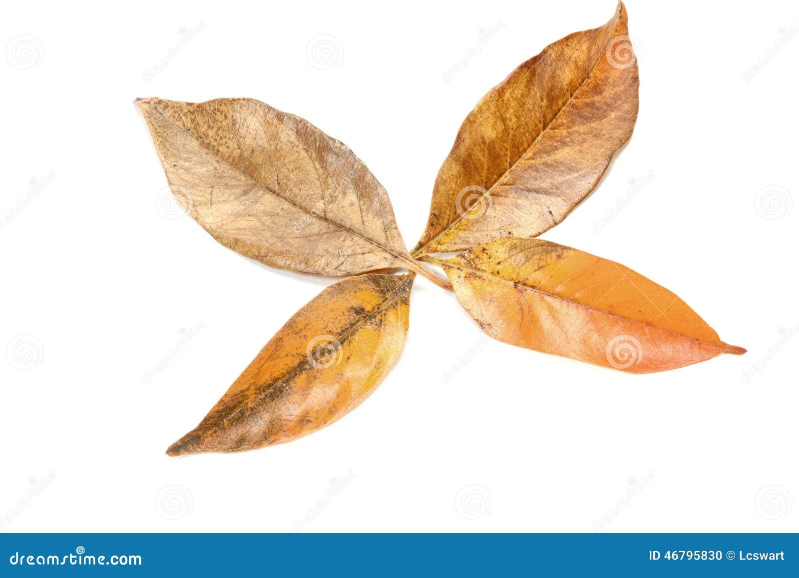Folhas em Autumn Colors Forming Palmate Pattern