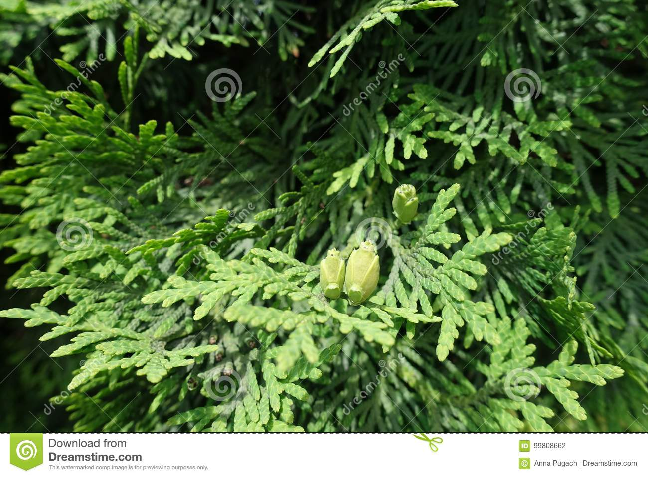 Folhas escamosos e cones da semente de occidentalis do Thuja