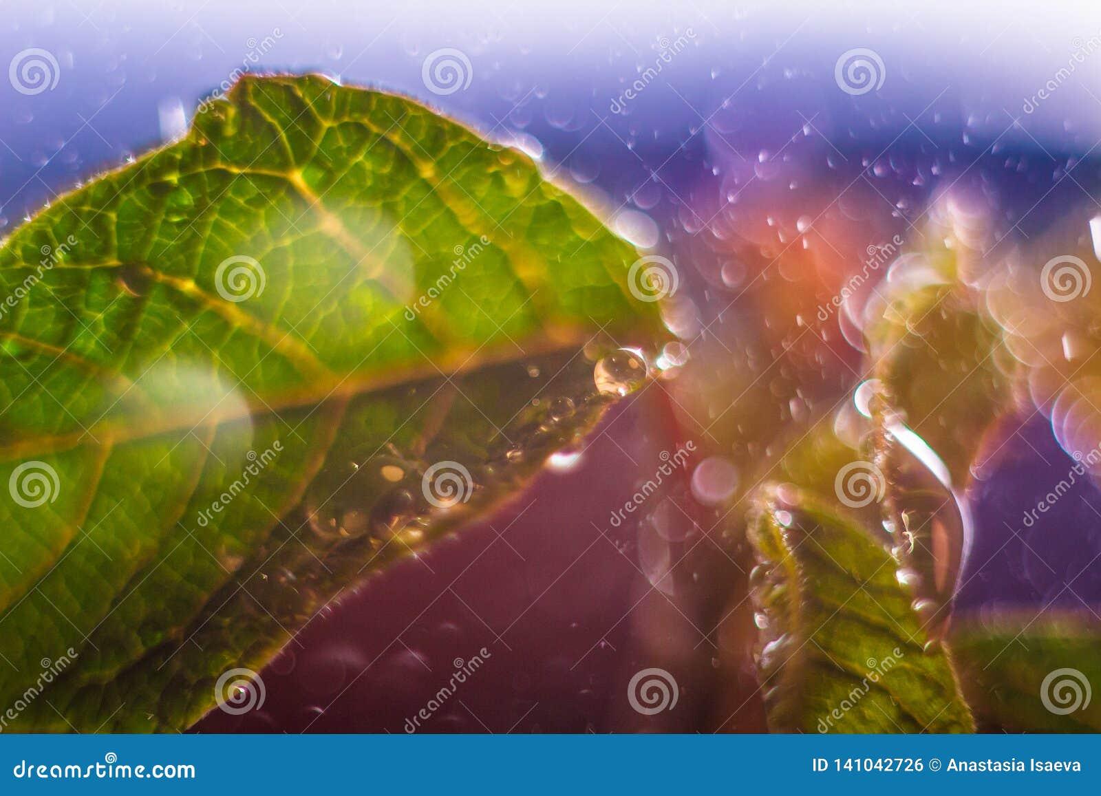 Folhas frescas com gotas grandes Fundo abstrato do bokeh Cenário macro