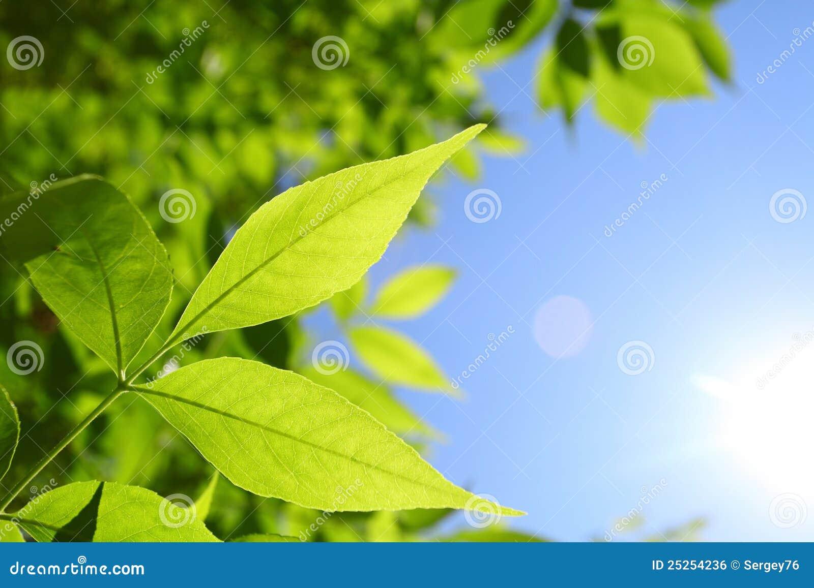 Folhas frescas do verde e raias naturais do sol