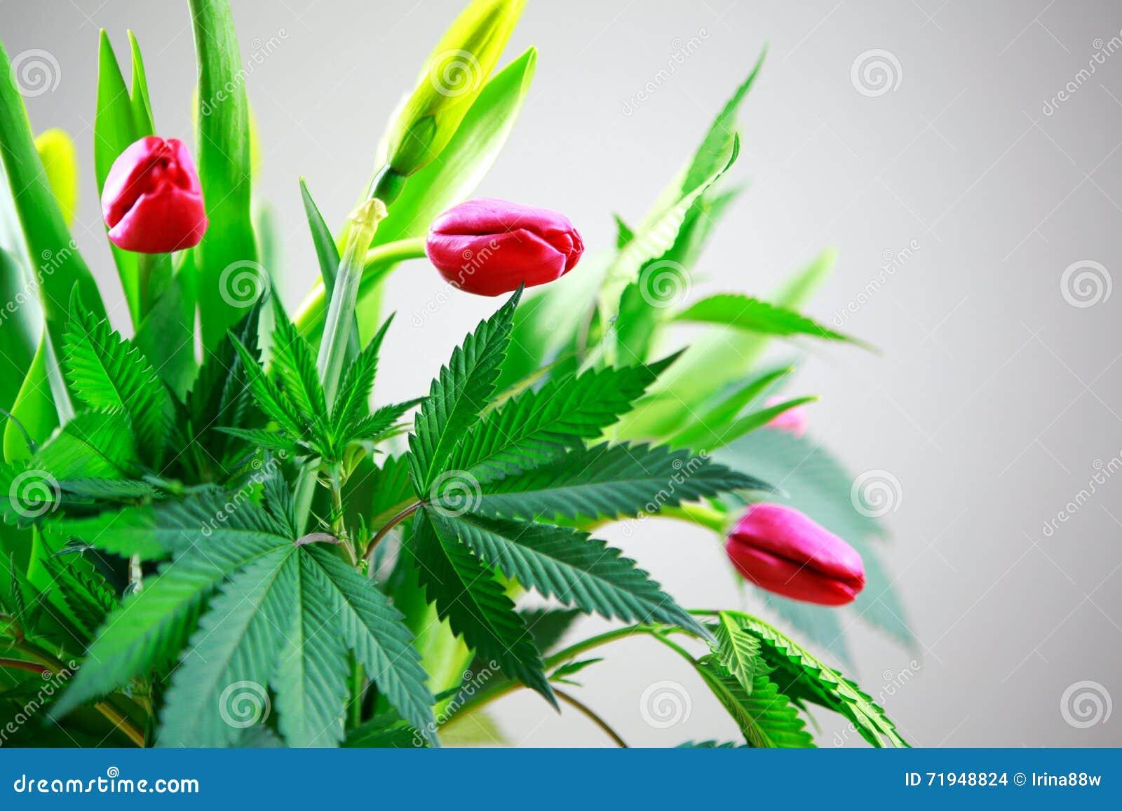 Folhas frescas verdes da marijuana grandes (cannabis), planta do cânhamo em um n