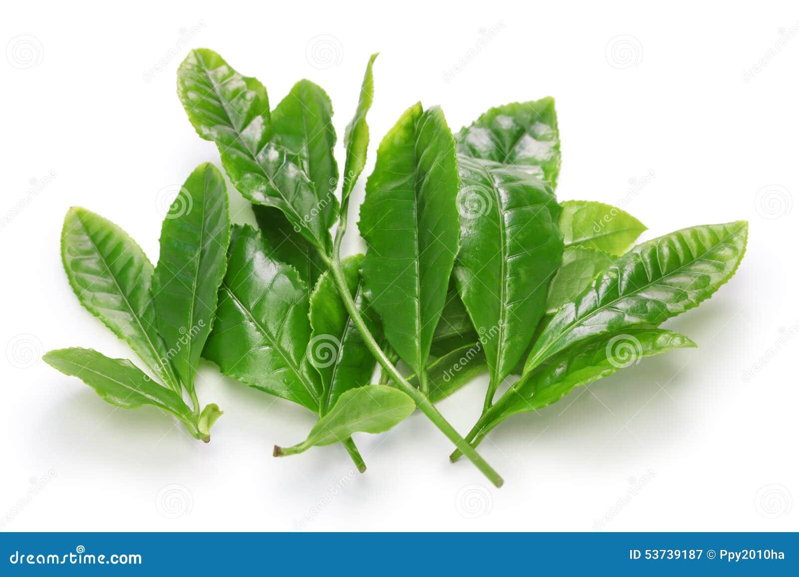 Folhas japonesas do resplendor do chá verde primeiramente