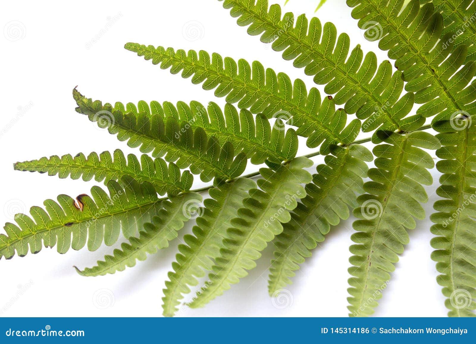 Folhas leves do verde da samambaia