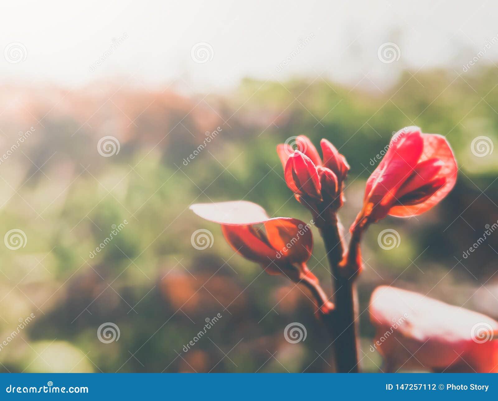 Folhas novas vermelhas da imagem da cor do vintage e fundo claro natural