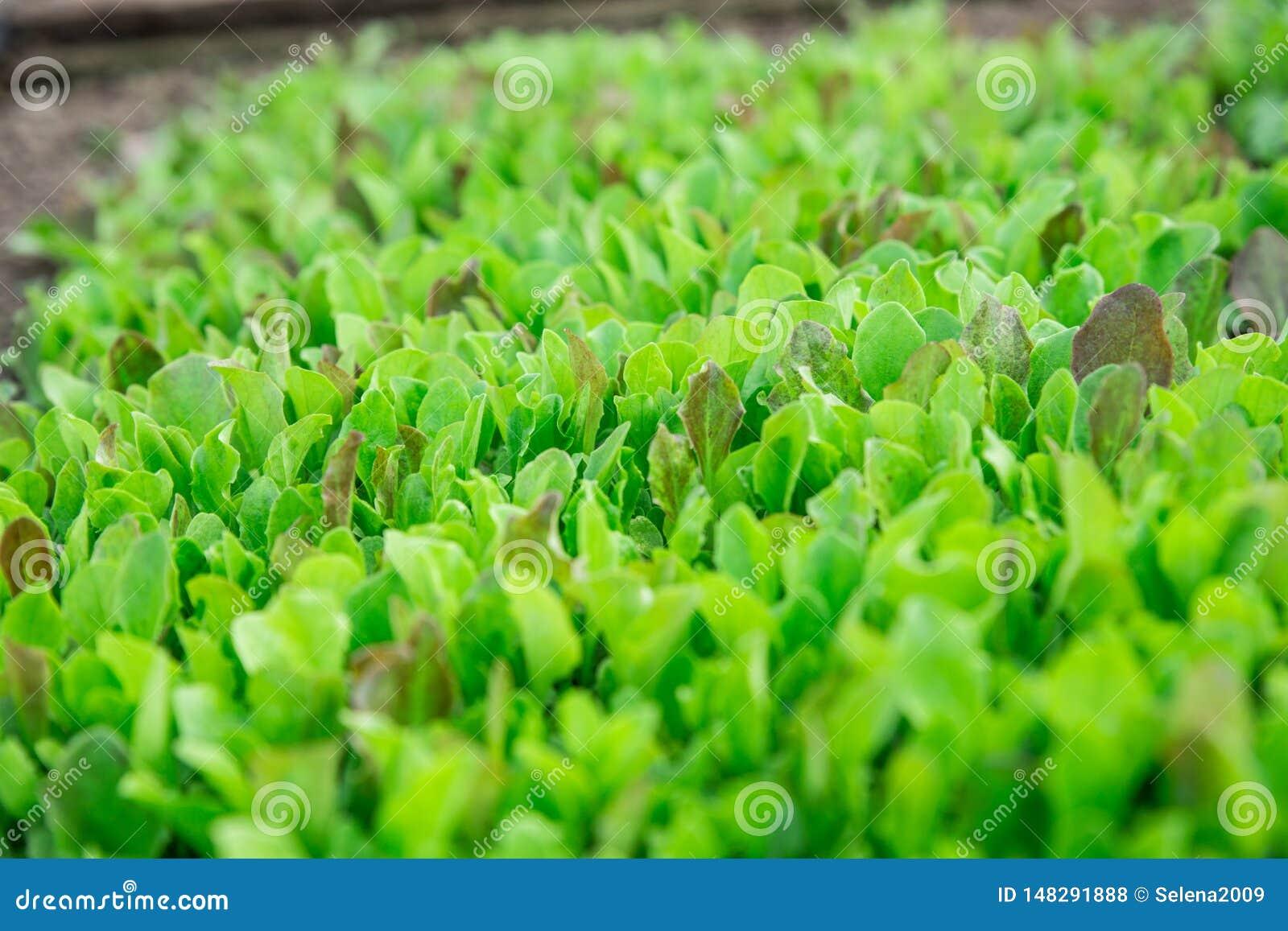 Folhas verdes da alface As folhas frescas, novas e macias da alface crescem no jardim Um tapete verde contínuo As larvas s?o laga