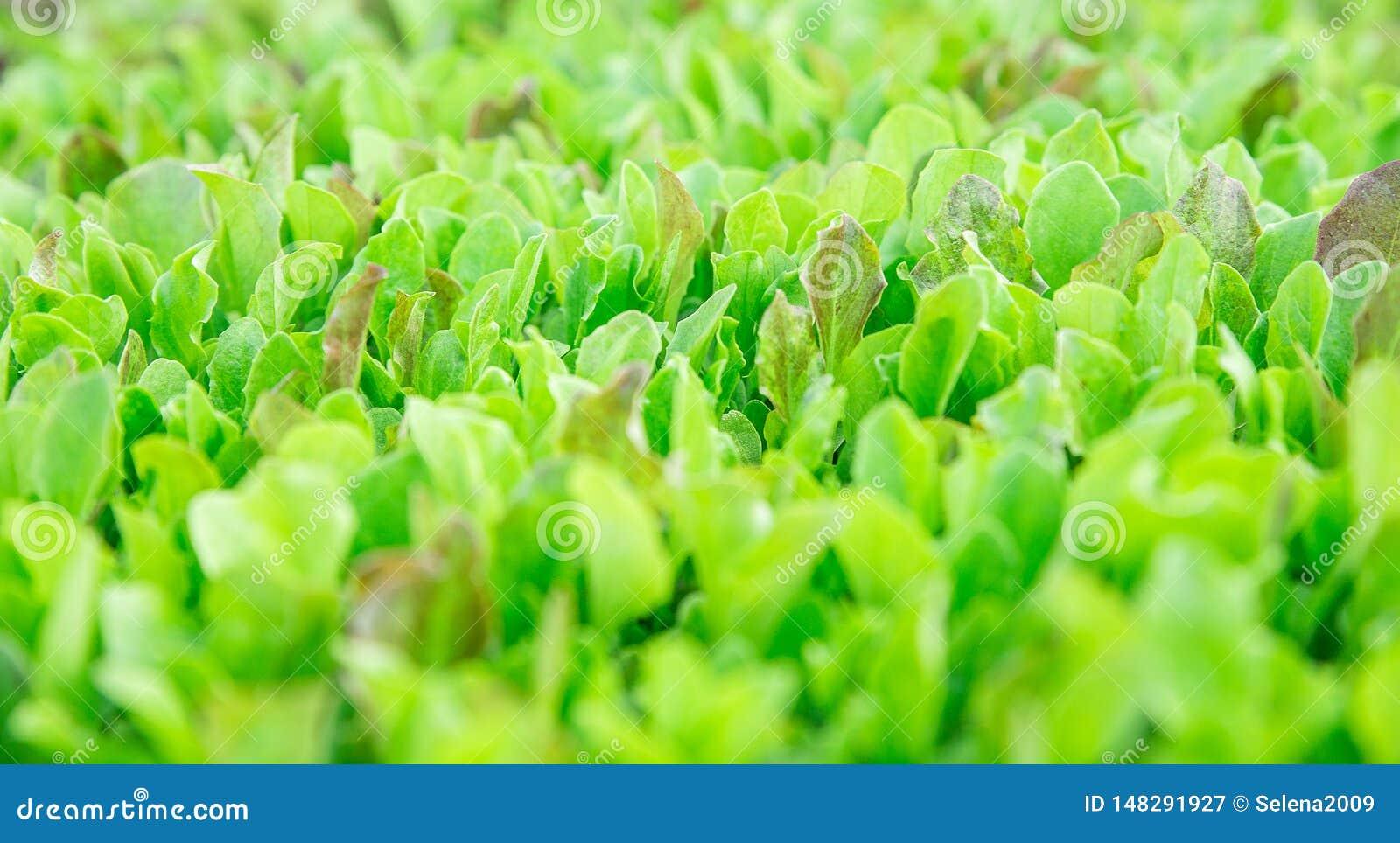 Folhas verdes da alface As folhas frescas, novas e macias da alface crescem no jardim Um tapete verde cont?nuo As larvas s?o laga
