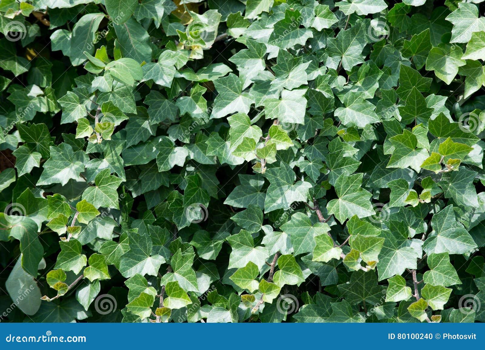 Folhas verdes da hera na parede