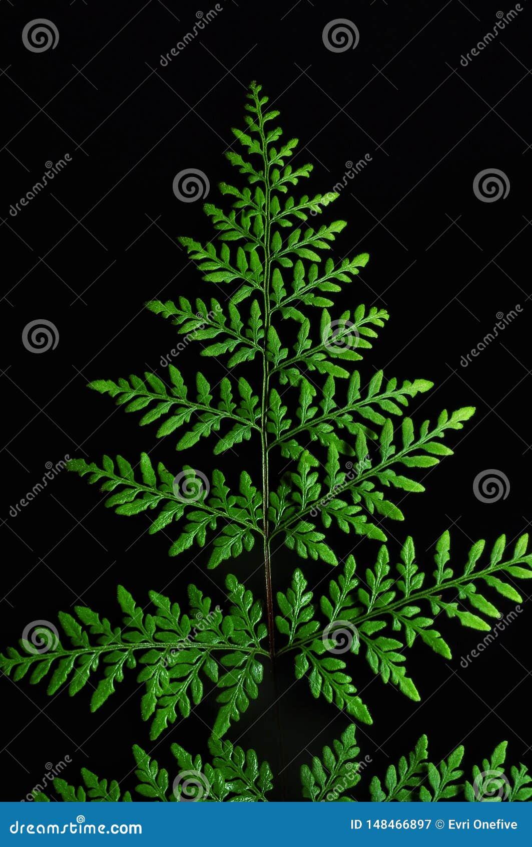 Folhas verdes da samambaia no fundo preto