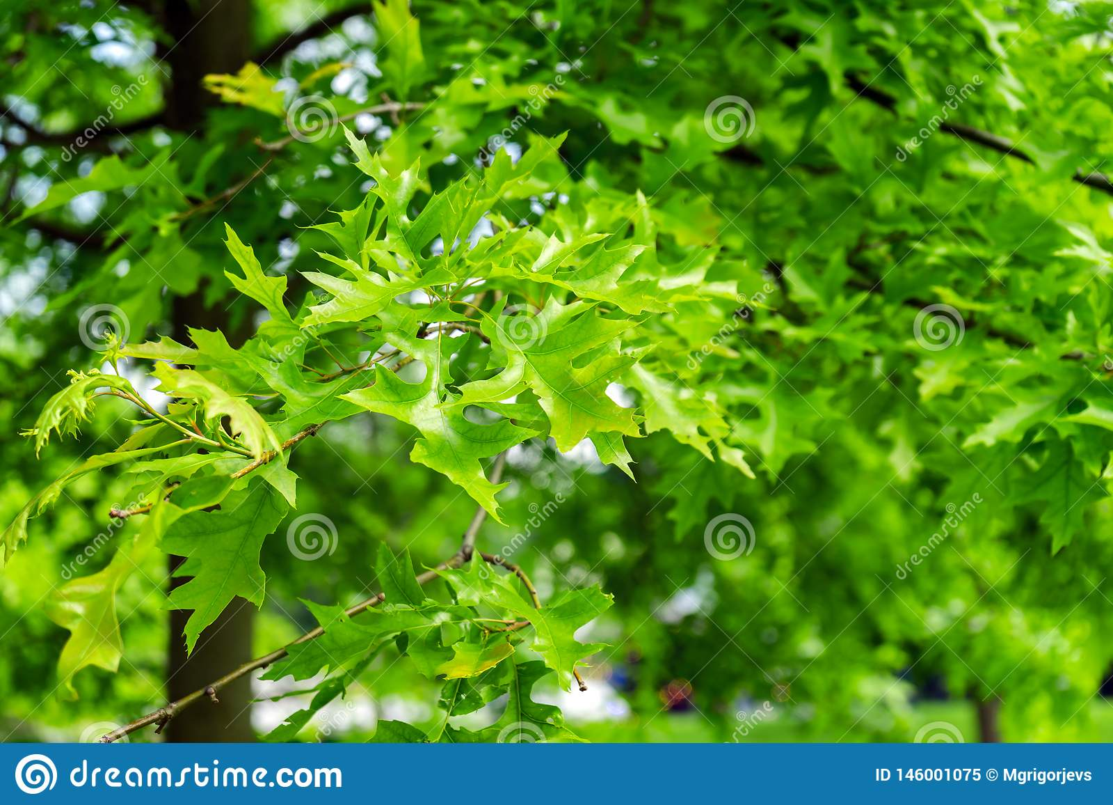 Folhas verdes de ajardinar a árvore, os palustris do Quercus, o pino ou o carvalho espanhol do pântano no parque
