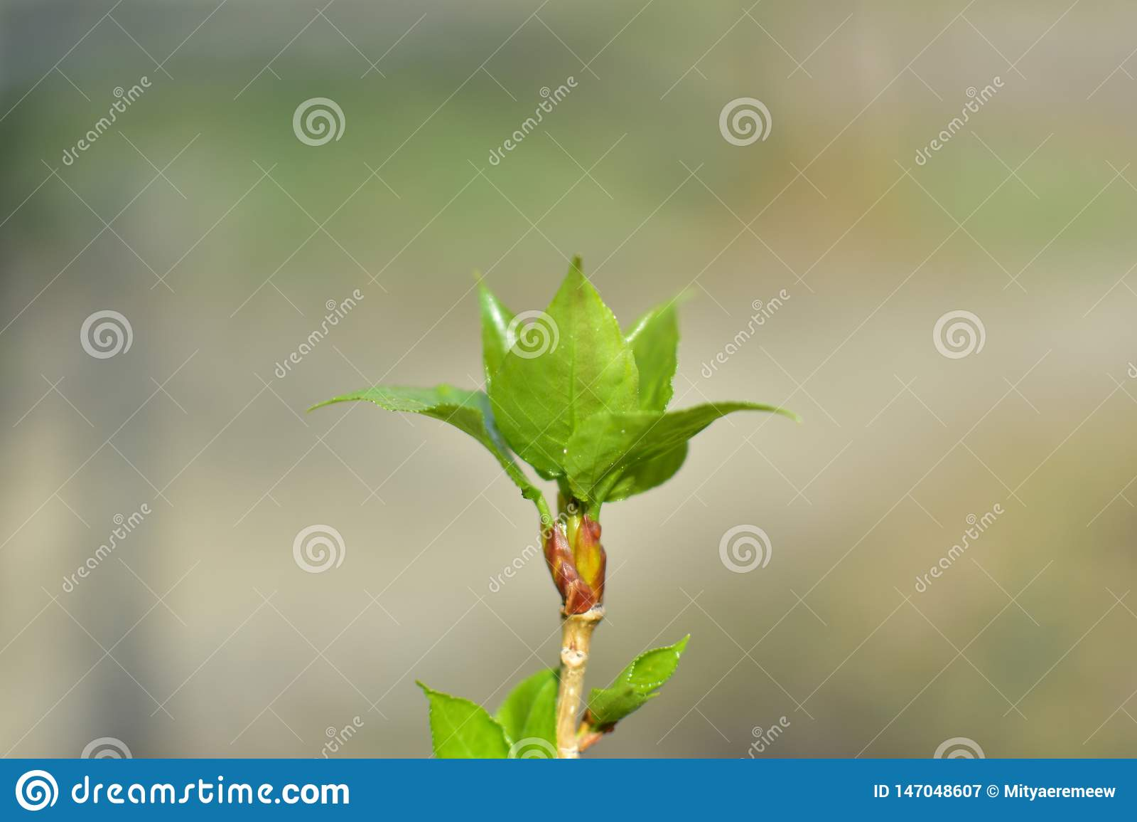 Folhas verdes de florescência novas frescas do ramo da mola dos botões de uma árvore sobre